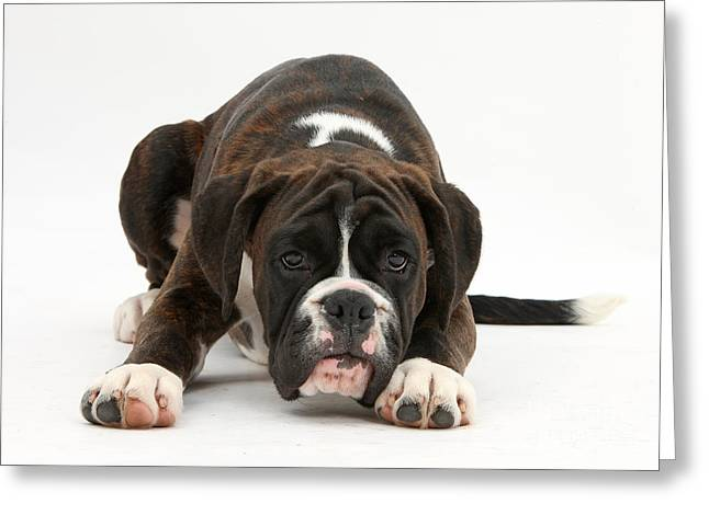 Boxer Pup Greeting Card by Mark Taylor