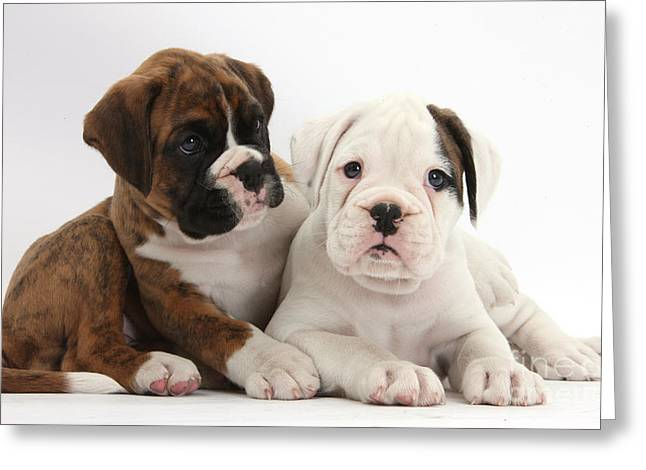 Boxer Puppies Greeting Card by Mark Taylor