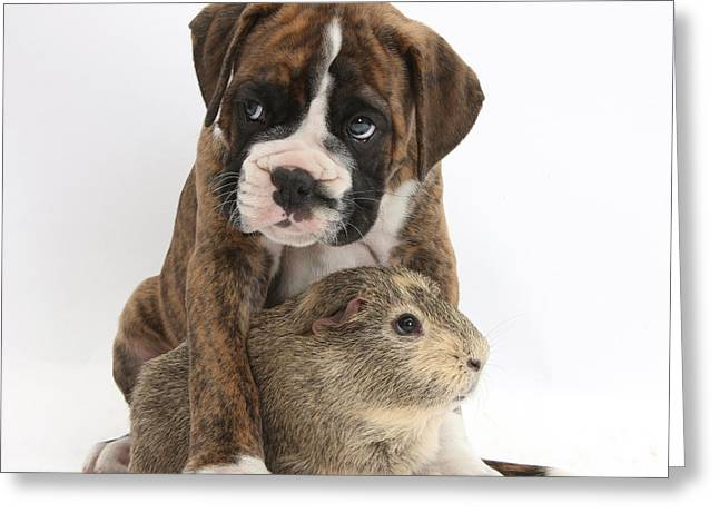 House Pet Greeting Cards - Boxer Puppy And Guinea Pig Greeting Card by Mark Taylor