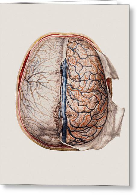 Brain Surgery Greeting Cards - Brain Meninges Greeting Card by Mehau Kulyk