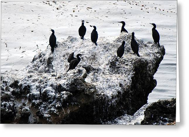 Point Lobos Greeting Cards - Brandts Cormorants Greeting Card by Harvey Barrison