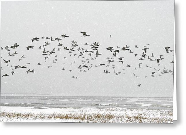 Winter Storm Greeting Cards - Brent Goose Flock In Flight Greeting Card by Duncan Shaw
