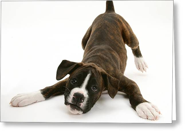 Bowing Greeting Cards - Brindle Boxer Pup Greeting Card by Jane Burton