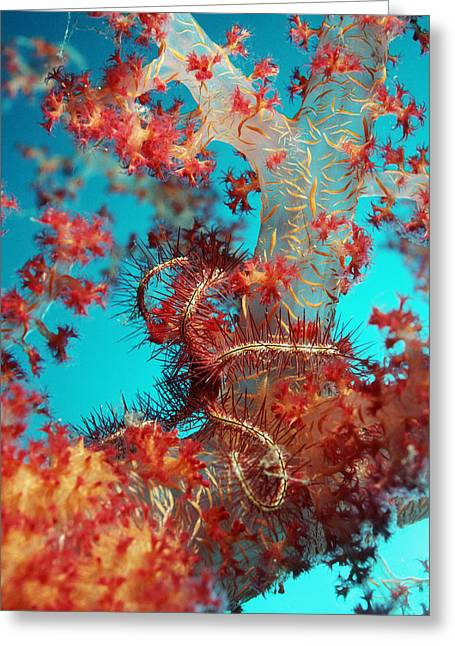 Aquatic Greeting Cards - Brittle Star Greeting Card by Georgette Douwma