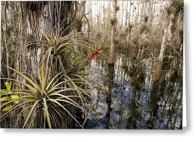 Epiphyte Greeting Cards - Bromeliad (tillandsia Fasciculata) Greeting Card by Bob Gibbons