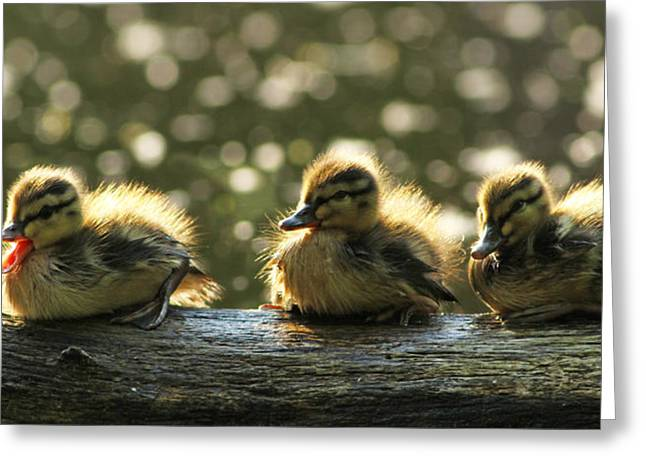 Mallard Ducklings Greeting Cards - Brothers Greeting Card by Mircea Costina Photography