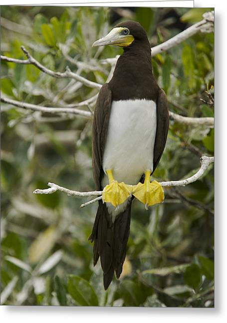 Full-length Portrait Photographs Greeting Cards - Brown Booby, Sula Leucogaster Greeting Card by Tim Laman