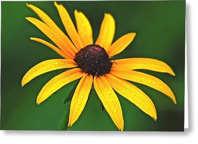 Brown Eye Susan Greeting Cards - Brown Eyed Susan Greeting Card by Michael Peychich