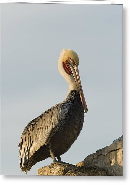 A Natural Bridge Greeting Cards - Brown Pelican In Breeding Plumage Greeting Card by Sebastian Kennerknecht