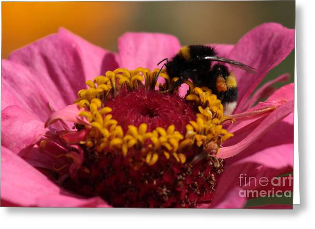 Zinnia Elegans Greeting Cards - Buff-tailed Bumblebee on Zinnia elegans Greeting Card by Svetlana Ledneva-Schukina