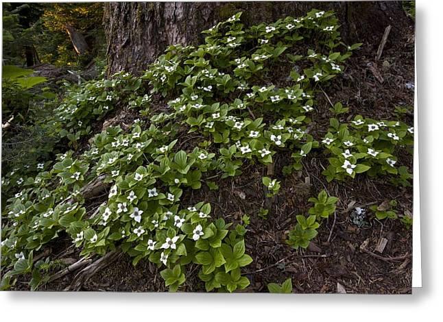 Cornus Greeting Cards - Bunchberry (cornus Unalaschkensis) Greeting Card by Bob Gibbons