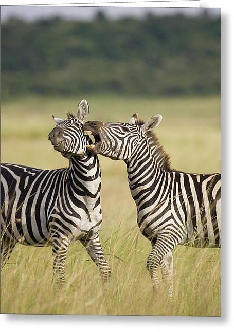 Reserve Greeting Cards - Burchells Zebra Equus Burchellii Greeting Card by Suzi Eszterhas