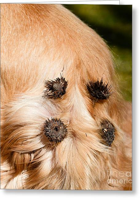 Animal Dispersal Greeting Cards - Burdock Burs Greeting Card by Photo Researchers