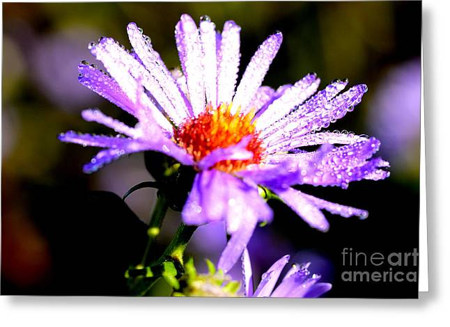 Asters Greeting Cards - Bushy Aster with Dew Greeting Card by Thomas R Fletcher