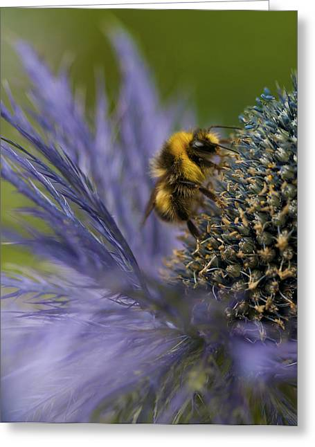 Beeswax Greeting Cards - Busy Bee on a Thistle Greeting Card by Zoe Ferrie
