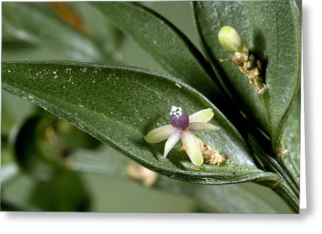 Butcher's Broom (ruscus Aculeatus) Greeting Card by Bob Gibbons