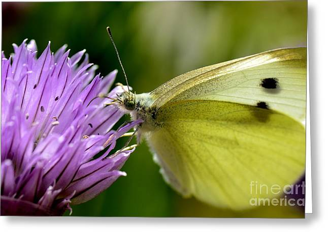 Pieris Rapae Greeting Cards - Butterfly on Chives Greeting Card by Thomas R Fletcher