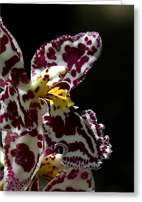 Phalus Greeting Cards - C Ribet Orchids Greeting Card by C Ribet