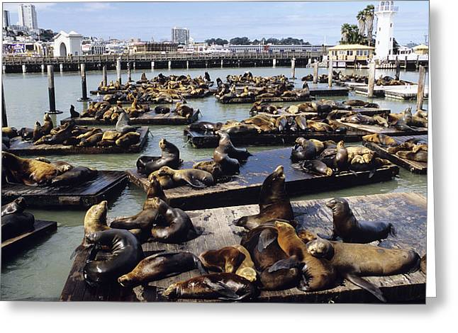 California Sea Lions Greeting Cards - California Sea Lions Greeting Card by Alan Sirulnikoff