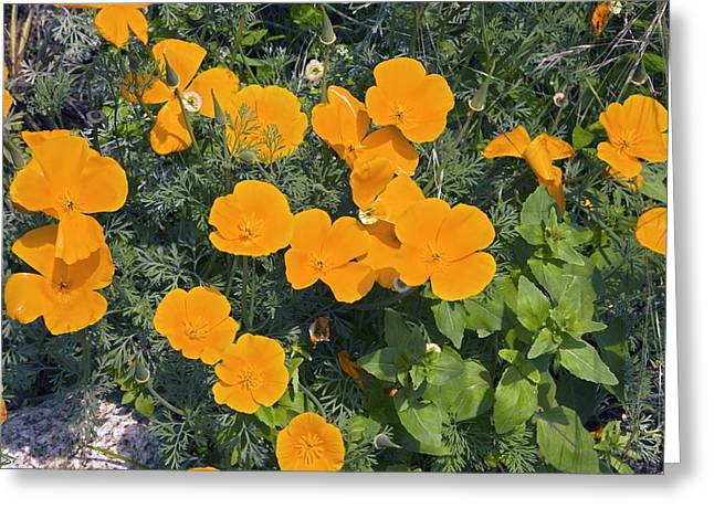 Californian Greeting Cards - Californian Poppy (eschscholzia Sp.) Greeting Card by Dr Keith Wheeler