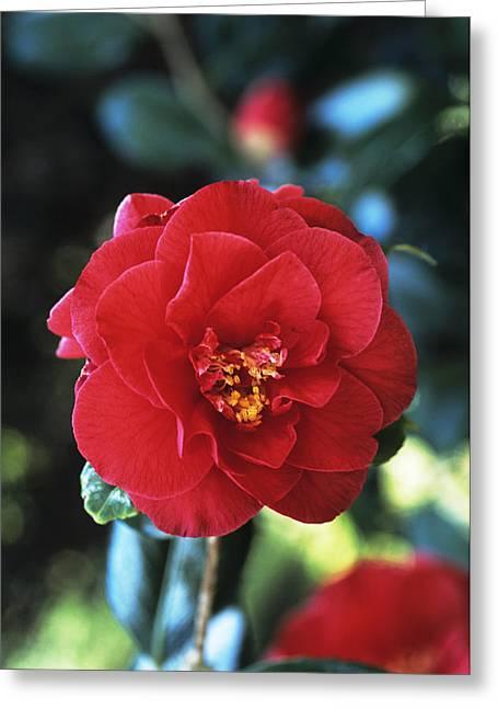 Camellia Japonica Greeting Cards - Camellia Flower Greeting Card by Adrian Thomas
