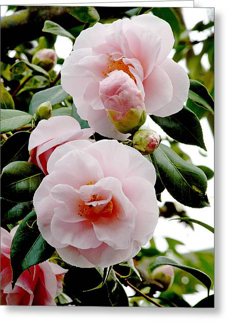 Dainty Greeting Cards - Camellia Flowers (camellia Japonica) Greeting Card by Dr Keith Wheeler