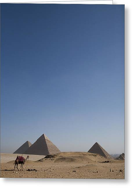 Pharaoh Greeting Cards - Camels At The Great Pyramids At Giza Greeting Card by Taylor S. Kennedy
