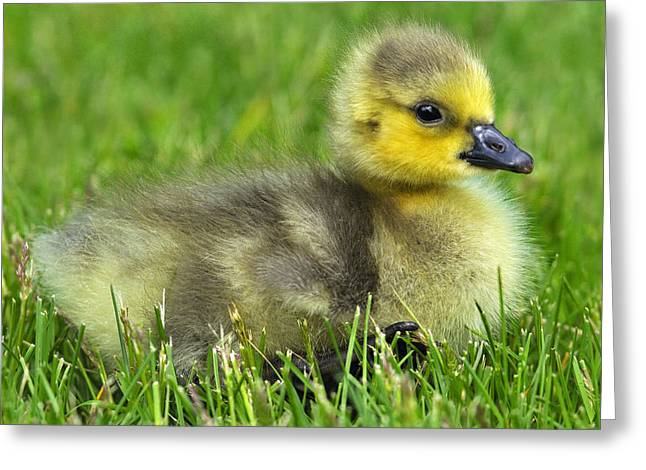 Baby Bird Greeting Cards - Canada Gosling Greeting Card by Tony Beck