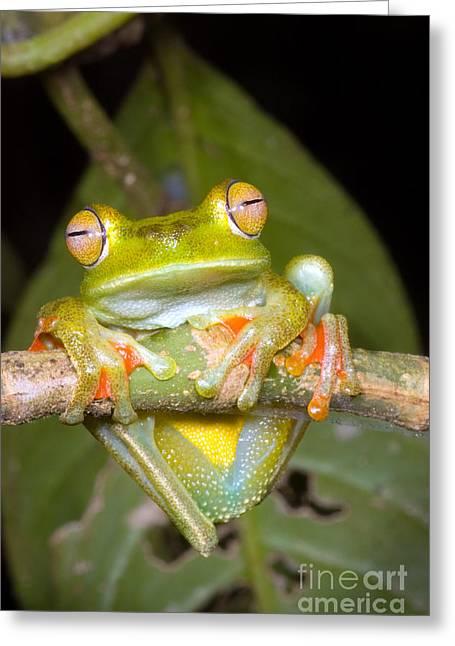 Hylas Greeting Cards - Canal Zone Tree Frog Greeting Card by Dante Fenolio