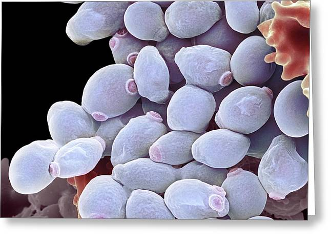 Urology Greeting Cards - Candida Albicans Yeast Cells, Sem Greeting Card by Steve Gschmeissner