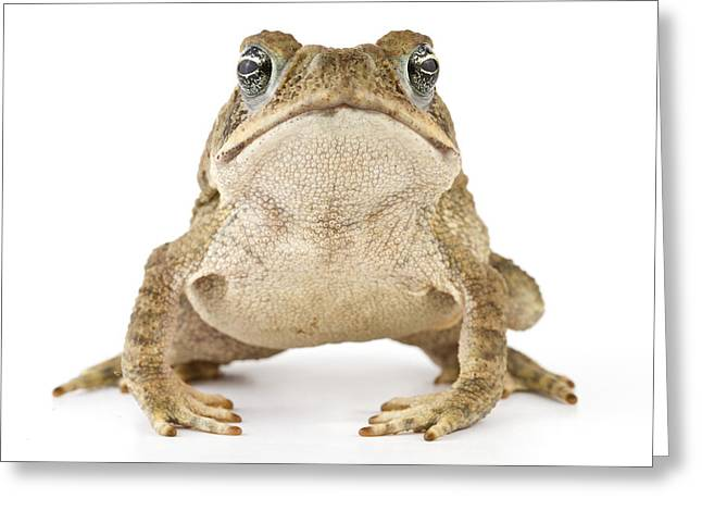 Cane Toad La Selva Costa Rica Greeting Card by Piotr Naskrecki