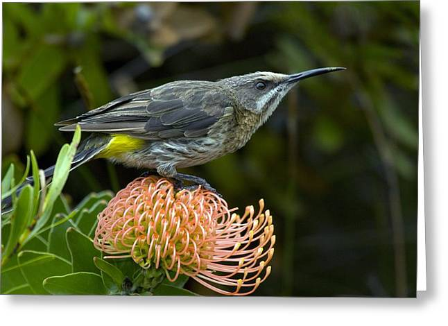Pincushion Flower Greeting Cards - Cape Sugarbird On A Flower Greeting Card by Bob Gibbons
