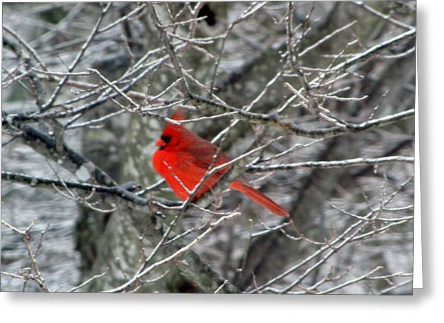 Red Photographs Greeting Cards - Cardinal on Icy Branches Greeting Card by Amy Tyler