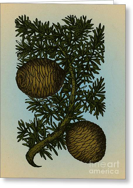Cassia Greeting Cards - Cassia Tree, Alchemy Plant Greeting Card by Science Source