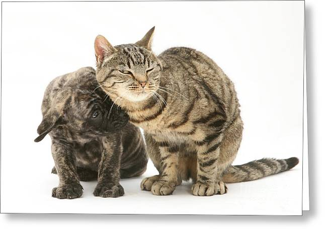 Brindle Greeting Cards - Cat And Mastiff Pup Greeting Card by Jane Burton