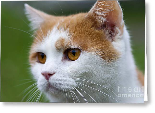 Tom Cat Greeting Cards - Cat Greeting Card by Michal Boubin