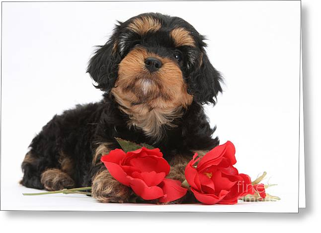 Domesticated Flower Greeting Cards - Cavapoo Pup With Roses Greeting Card by Mark Taylor