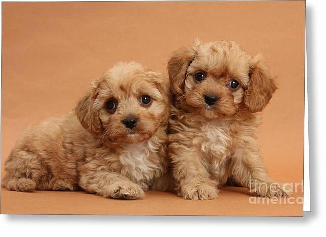 Cavapoo Pups Greeting Card by Mark Taylor