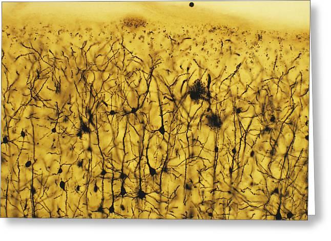 Cerebral Cortex Greeting Cards - Cerebral Cortex Nerve Cells Greeting Card by Cnri