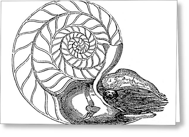Aquatic Greeting Cards - Chambered Nautilus Greeting Card by Granger