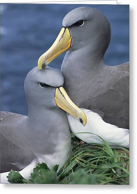 Chatham Greeting Cards - Chatham Albatross Thalassarche Eremita Greeting Card by Tui De Roy