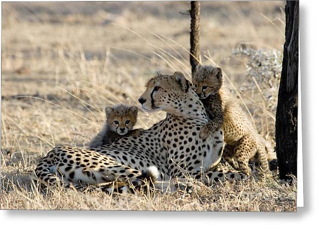 Cheetah Mother And Cubs Greeting Card by Gregory G. Dimijian, M.D.