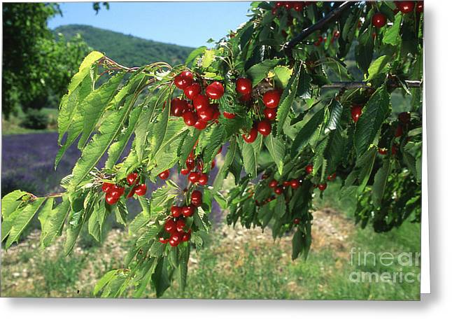 Cherry Tree Greeting Card by Bernard Jaubert