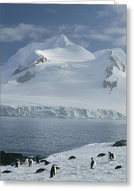 Straps Greeting Cards - Chin Strap Penguins Congregate Greeting Card by Tom Murphy