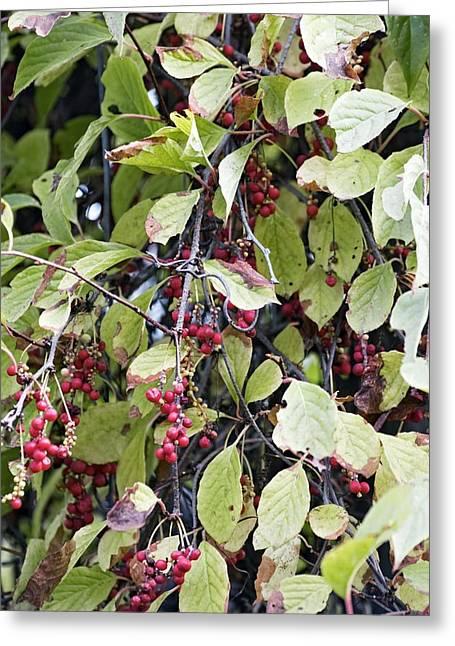 Woody Vine Greeting Cards - Chinese Schisandra (schisandra Chinensis) Greeting Card by Dr. Nick Kurzenko