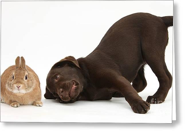 Chocolate Lab Greeting Cards - Chocolate Lab & Netherland-cross Rabbit Greeting Card by Mark Taylor