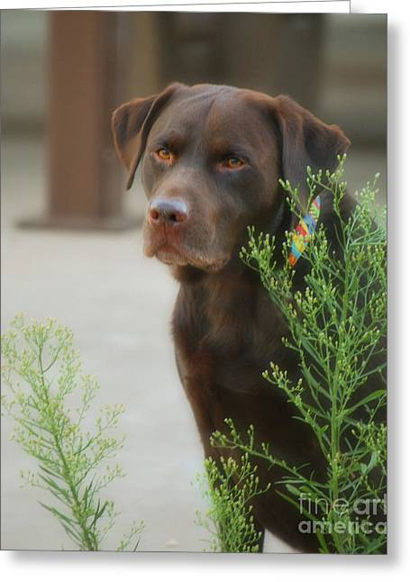 Chocolate Labrador - Womans Best Friend Greeting Card by Donna Greene