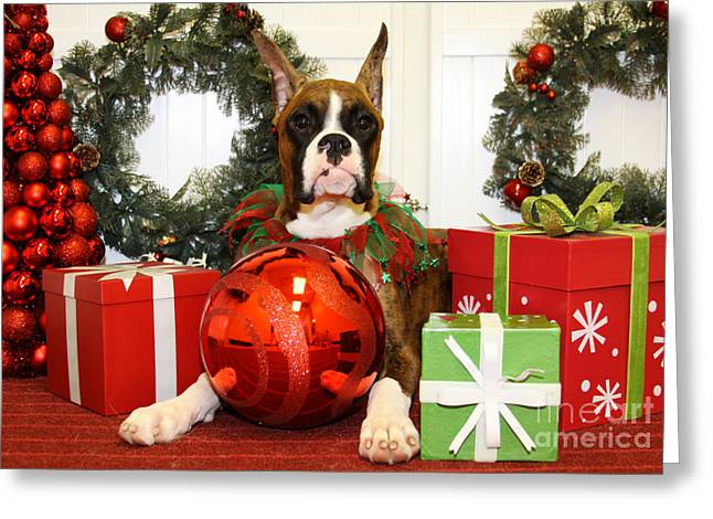 Boxer Greeting Cards - Christmas Portraits - Boxer Greeting Card by Renae Laughner