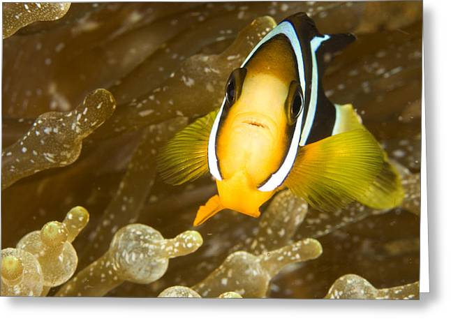 Clarks Anemonefish Among An Anemones Greeting Card by Tim Laman