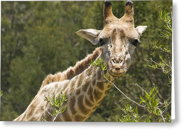 Worcester Greeting Cards - Close View Of A Giraffe Greeting Card by Stacy Gold